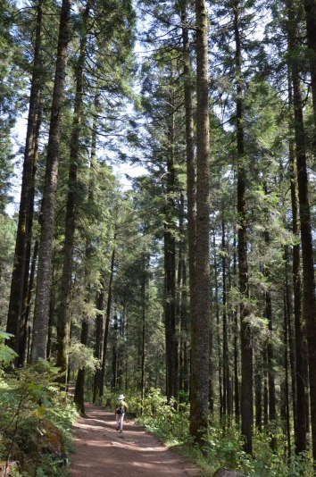 Hiking trail through Fir trees at Sierra Chincua Butterfly Sanctuary near Angangueo, Mexico