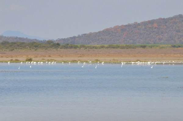 Great egrets along the shore of Lago de Cuitzeo, in the Michoacán State, Mexico