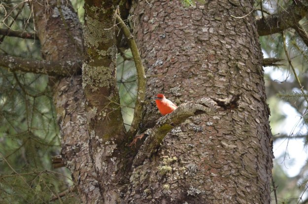 Male Hepatic Tanager on tree branch at El Rosario Monarch Butterfly Reserve, in Michoacán, Mexico