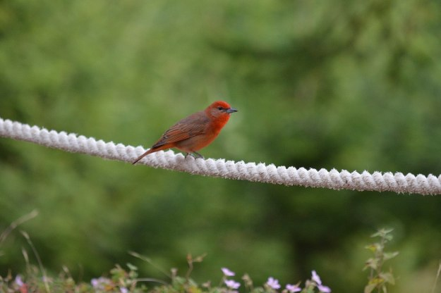 Male Hepatic Tanager on rope fence at El Rosario Monarch Butterfly Reserve, in Michoacán, Mexico