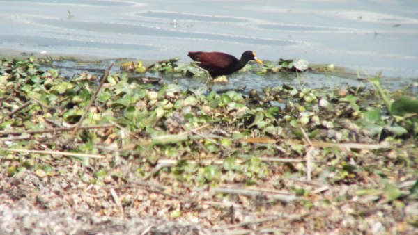 Northern Jacana along the shoreline at Lago de Cuitzeo, in the Michoacán State, Mexico