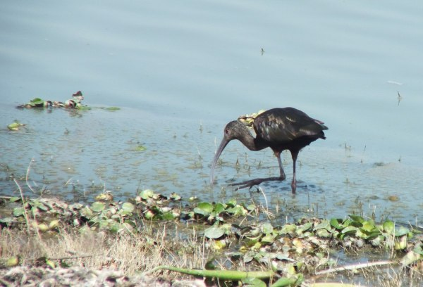 White-faced Ibis walking along shore of Lago de Cuitzeo, in the Michoacán State, Mexico