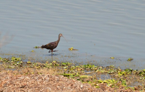 White-faced Ibis along Lago de Cuitzeo, in the Michoacán State, Mexico