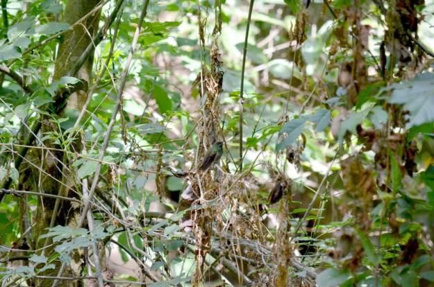 Berylline Hummingbird at hotel rancho san cayetano, zitacuaro, mexico, 7
