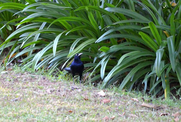 Great-tailed Grackle, zitacuaro, michoacan, mexico, 2