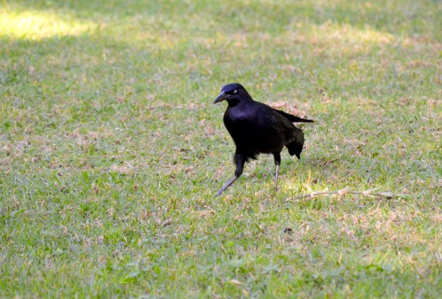 Great-tailed Grackle, zitacuaro, michoacan, mexico, 4