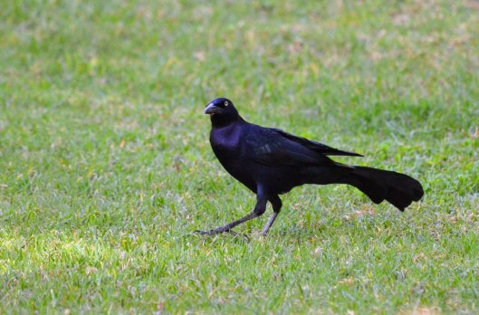 Great-tailed Grackle, zitacuaro, michoacan, mexico, 6