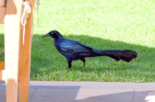 Great-tailed Grackle, zitacuaro, michoacan, mexico, 8