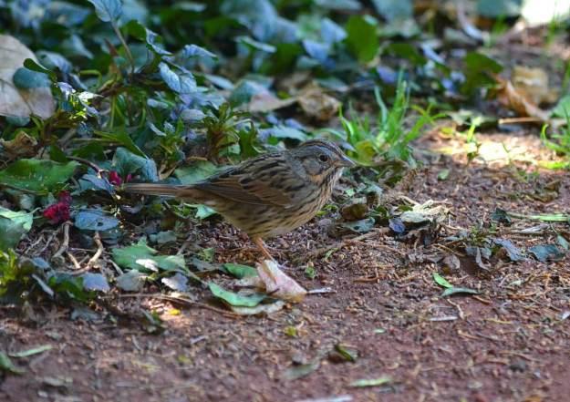 Lincoln's sparrow at zitacuaro, michoacan, mexico, 2