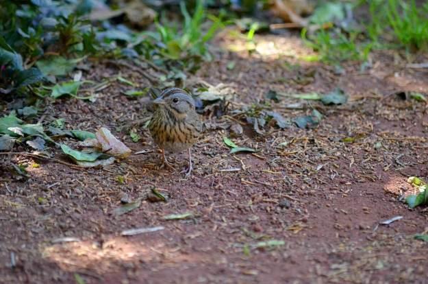 Lincoln's sparrow at zitacuaro, michoacan, mexico, 4
