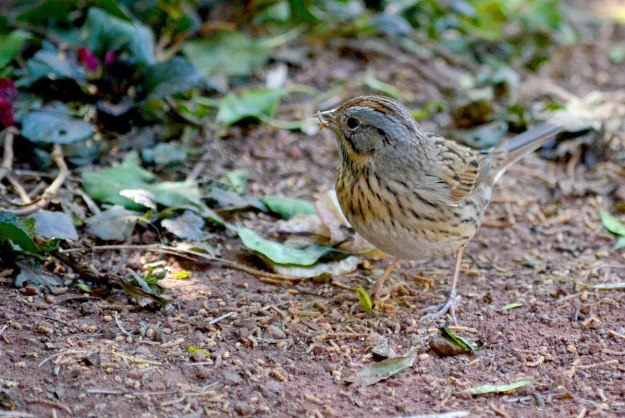 Lincoln's sparrow at zitacuaro, michoacan, mexico, 7