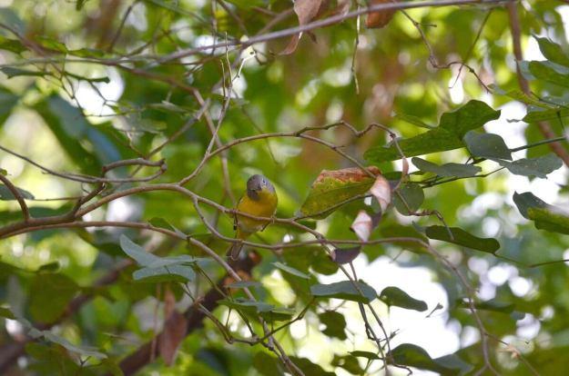Nashville Warbler on a tree at Hotel Rancho San Cayetano, Zitacuaro, Mexico
