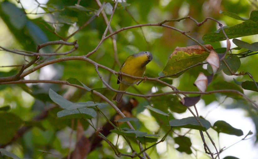 Nashville Warbler in a tree at Hotel Rancho San Cayetano, Zitacuaro, Mexico