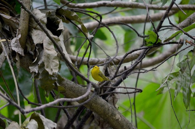 Wilson's Warbler sitting in a tree at Hotel Rancho San Cayetano, in Zitacuaro