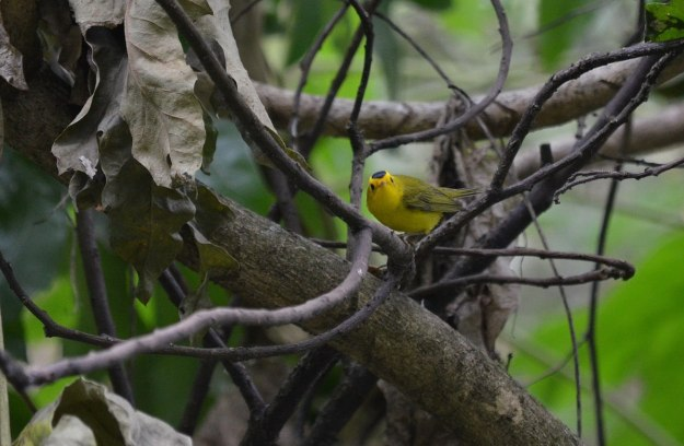 Wilson's Warbler in a tree at Hotel Rancho San Cayetano, in Zitacuaro, Mexico