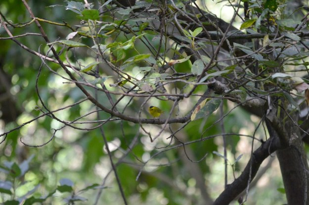 Wilson's Warbler in a tree at Hotel Rancho San Cayetano, in Zitacuaro