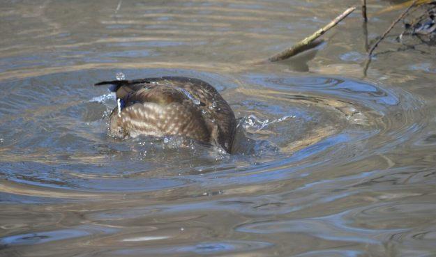 Wood Duck, female, High Park, Toronto 3