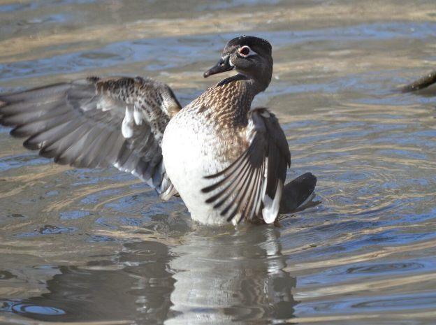 Wood Duck, female, High Park, Toronto 5