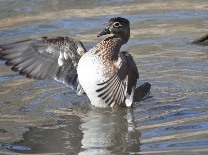 Wood Duck, female, High Park, Toronto 5