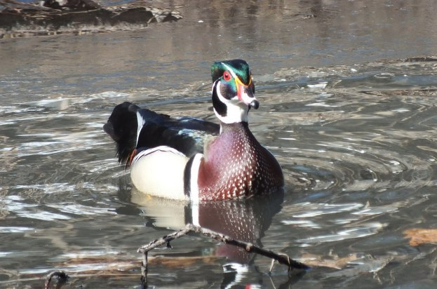 Wood Duck, male, High Park, Toronto 12