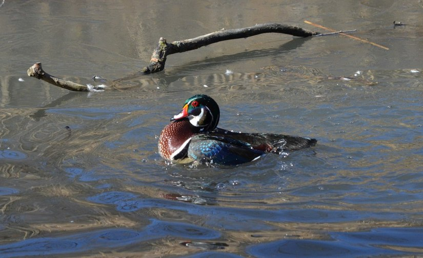 Wood Duck, male, High Park, Toronto 6
