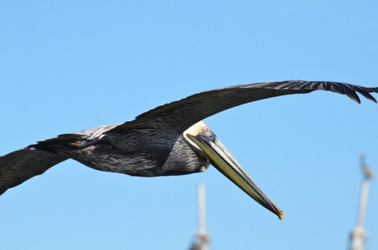 brown pelican, san blas, nayarit, mexico, pic 3