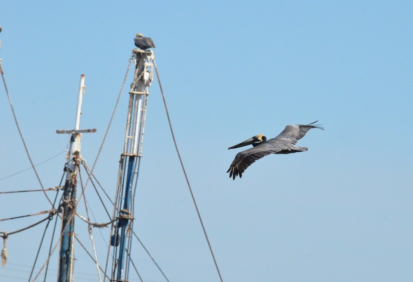 Brown pelican in flight over fishing boats at San Blas, State of Nayarit, Mexico