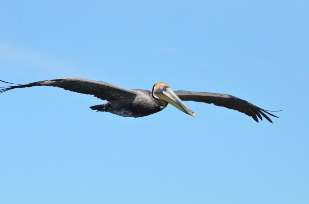 Brown pelican in flight at San Blas, State of Nayarit, Mexico