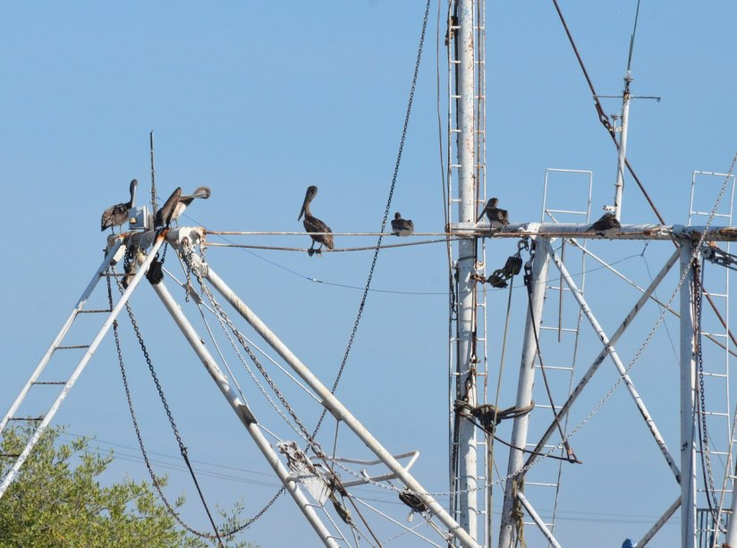 Brown Pelicans sitting on fishing boats in San Blas harbour, State of Nayarit, Mexico