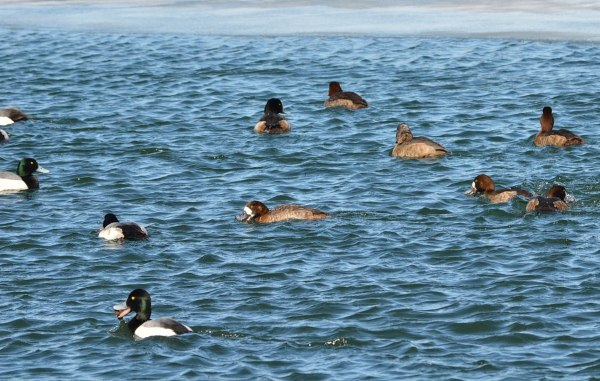 greater scaup ducks, tommy thompson park, toronto pic 2