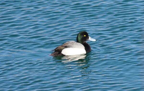 greater scaup, male, tommy thompson park, toronto pic 2