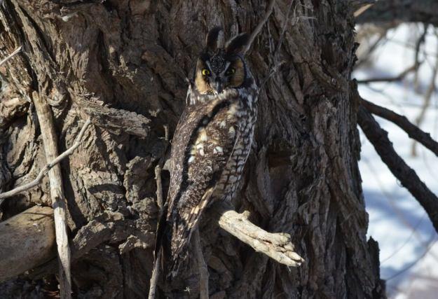 long-eared owl, tommy thompson park, toronto 1