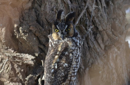Long-eared owl at Tommy Thompson Park in Toronto, Ontario, Canada