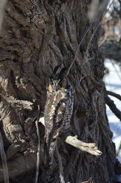 long-eared owl, tommy thompson park, toronto 12