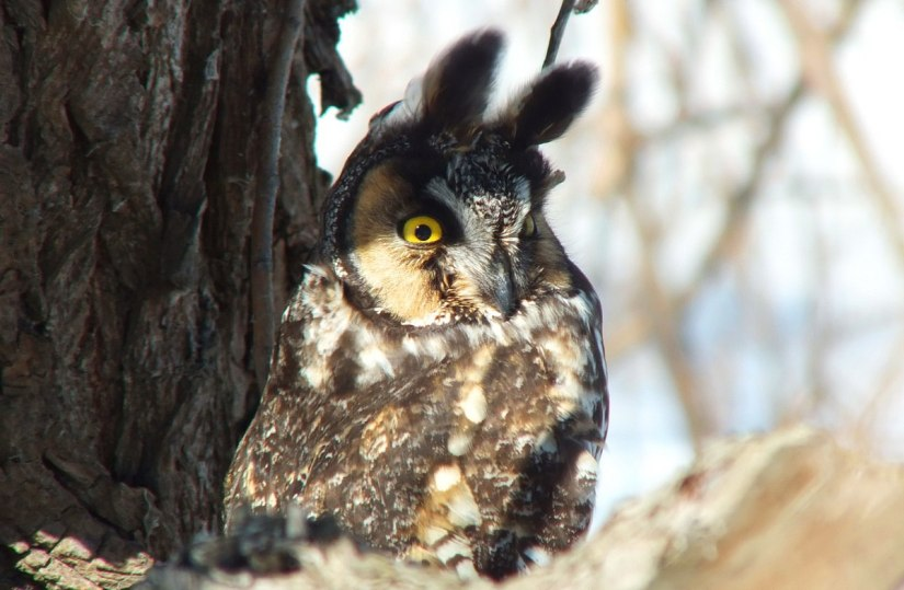 long-eared owl, tommy thompson park, toronto 2