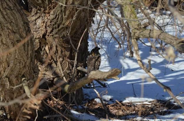 long-eared owl, tommy thompson park, toronto 7