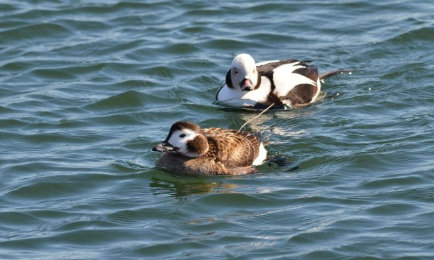 long-tailed ducks, female and male, tommy thompson park, toronto pic 2