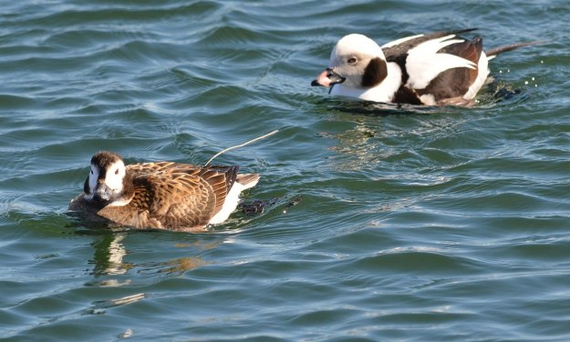 long-tailed ducks, female and male, tommy thompson park, toronto pic 3