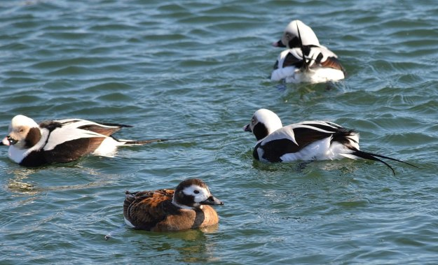 long-tailed ducks, tommy thompson park, toronto pic 3