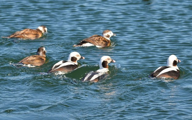 long-tailed ducks, tommy thompson park, toronto pic 6