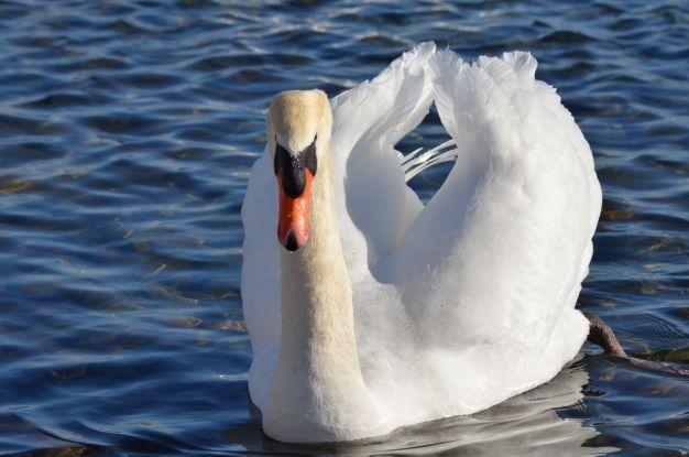mute swan, unwin bridge, toronto,