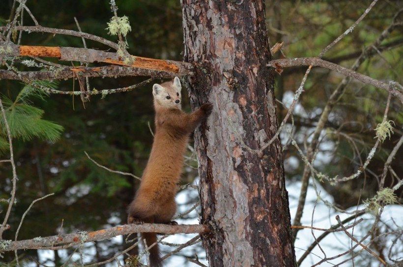 Pine marten stands up on tree limb in Algonquin Park, Ontario