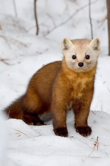 Pine marten sitting on snow in Algonquin Park, in Ontario.
