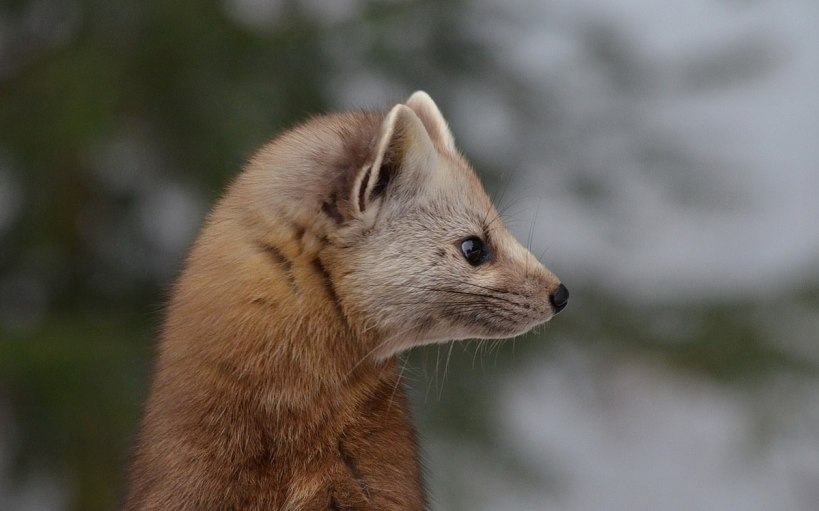 Pine marten head profile in Algonquin Park