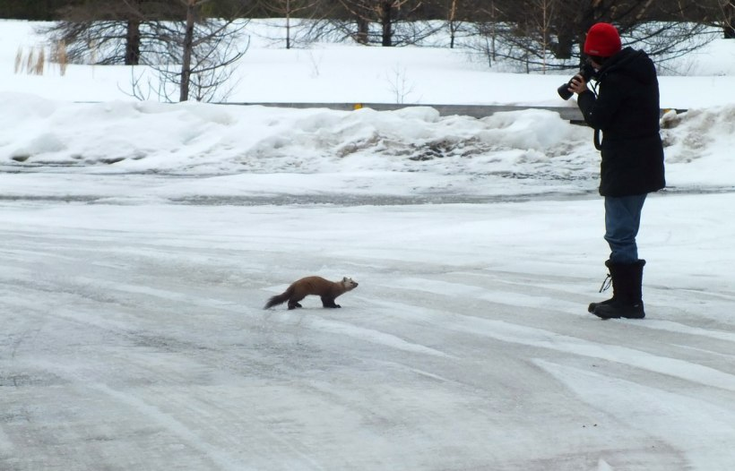 Jean takes picture of a pine marten on ice road in Algonquin Park