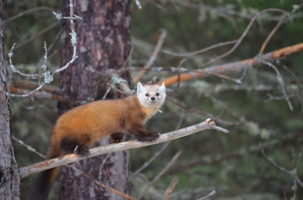 Pine marten on tree branch in Algonquin Park