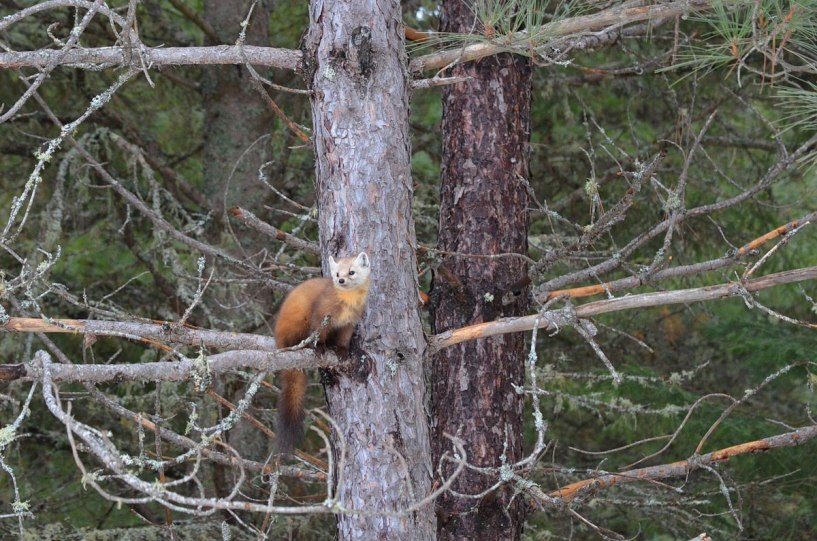 Pine marten sitting in a tree in Algonquin Park, in Ontario