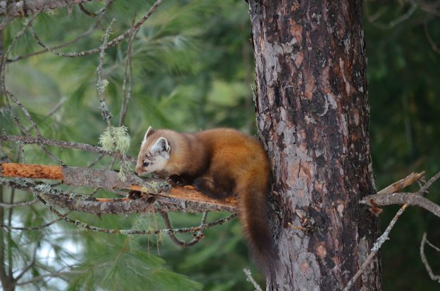 Pine marten smelling tree limb in Algonquin Park