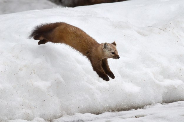Pine marten jumps off snow drift in Algonquin Park, Ontario
