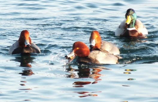 redhead ducks, tommy thompson park, toronto, pic 10
